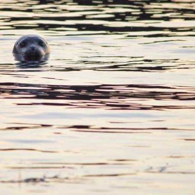 Common Seal Arisaig Skerries