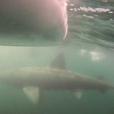 Basking shark Arisaig
