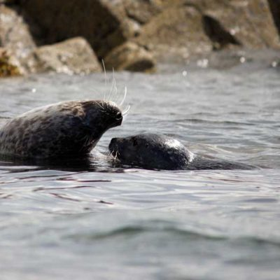 Common Seal with pup