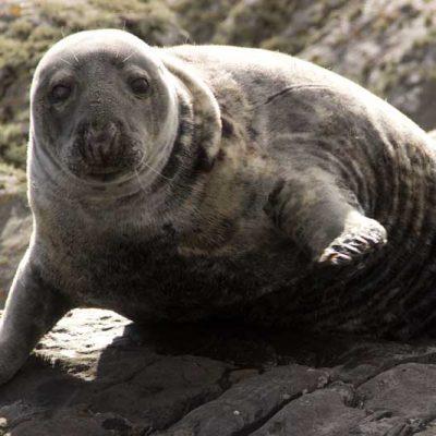 Grey seal Arisaig
