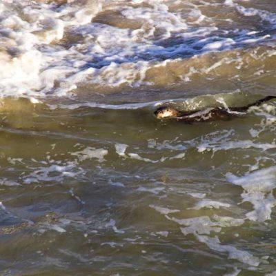 Otter near Glenuig