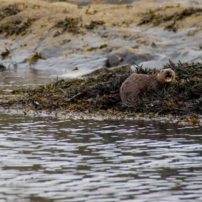 Otter Arisaig