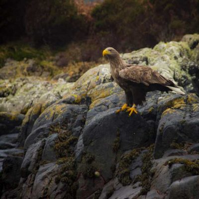White tailed Eagle Ardnamurchan