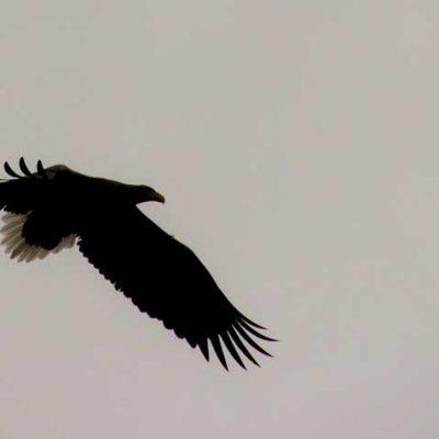 Sea Eagle Arisaig