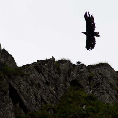 Sea Eagle isle of Rum
