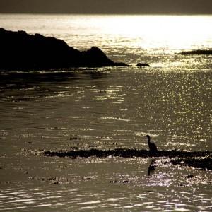 Heron on Loch Sunart