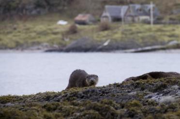 Sea kayak trip on Loch Linnhe – seeing Otters