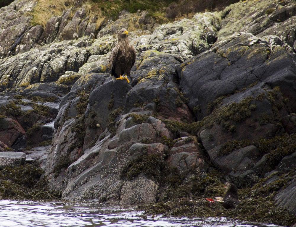 sea eagle ardtoe 1