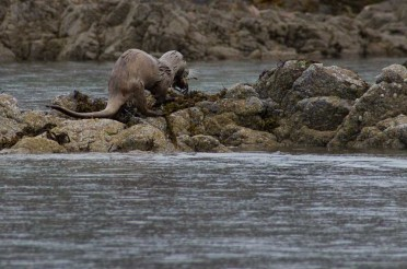 A few tips for watching Otters from a Sea Kayak